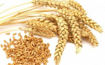 ماهو جنين القمح؟ وما هي فوائده؟